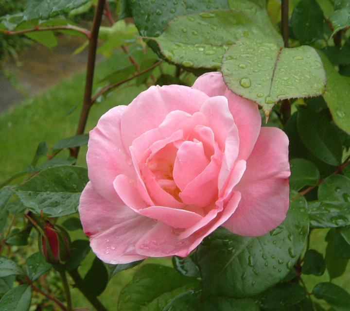 большая роза из бисера - Лучшие схемы и описания для всех.