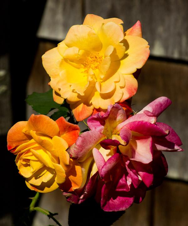 Three rose blossoms