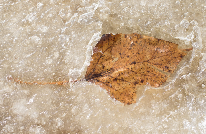 Leaf melts spring ice in the prairie spring