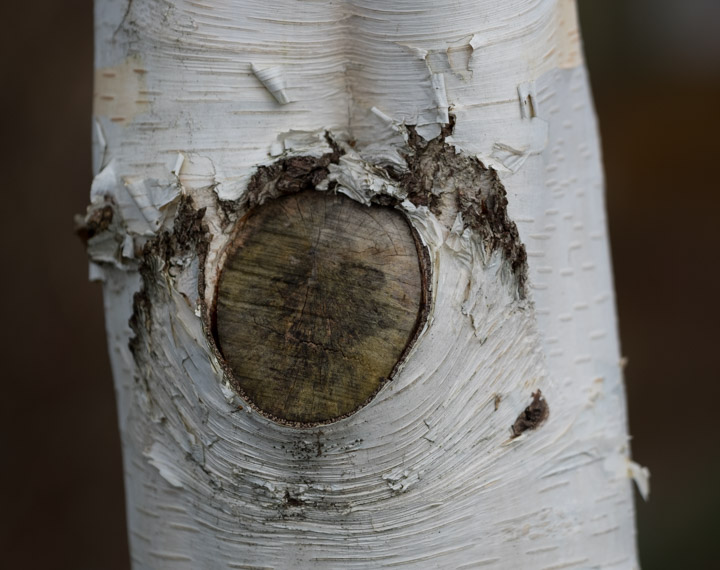 Amputated birch