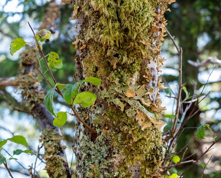 Mossy tree at Tanu
