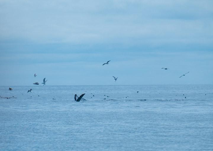 Humpback whale fins in Gwaii Haanas