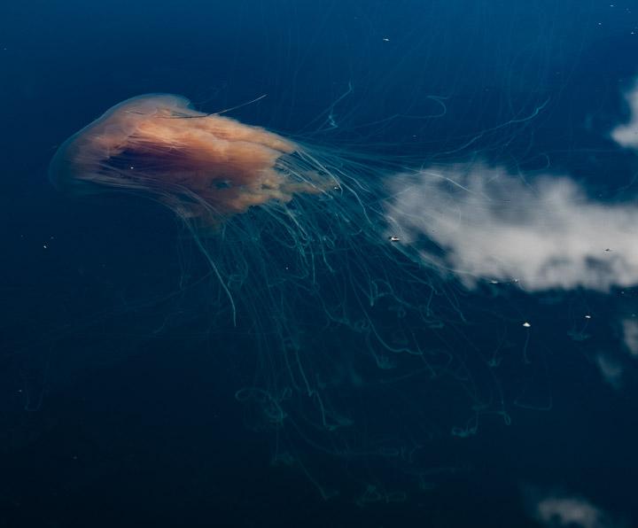 Fried egg jellyfish in Gwaii Haanas