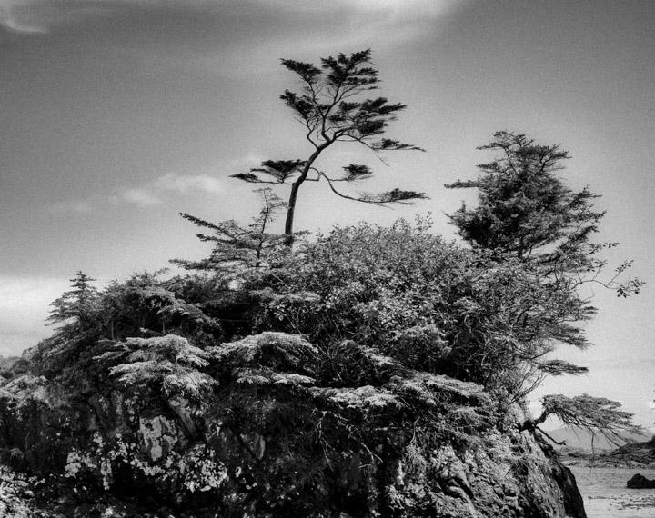 Natural bonsai in Gwaii Haanas