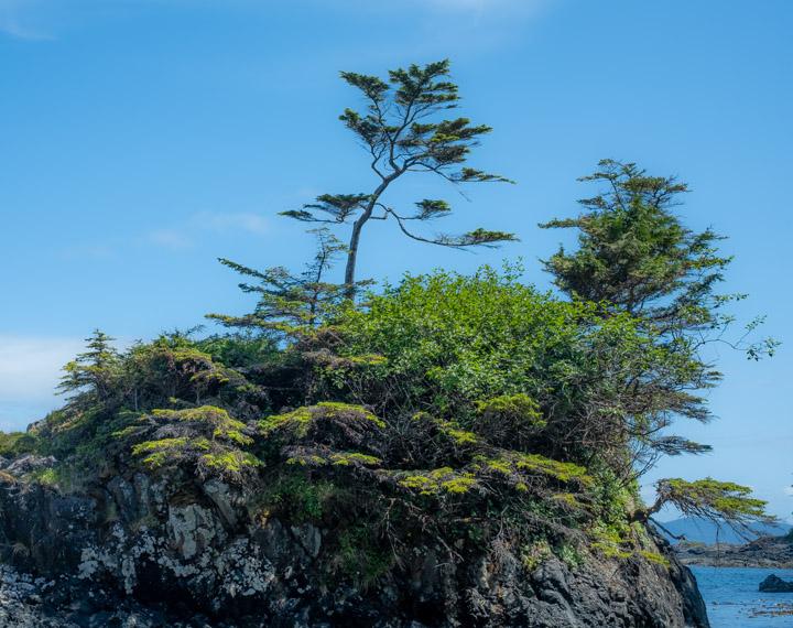 Natural Bonsai at SG̱ang Gwaay in Gwaii Haanas