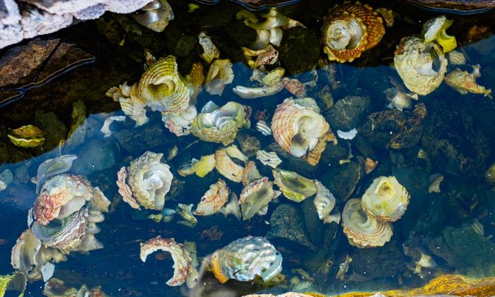 Seashells in a pool in Gwaii Haaanas