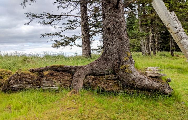 Tree on fallen totem pole, Haida Gwaii