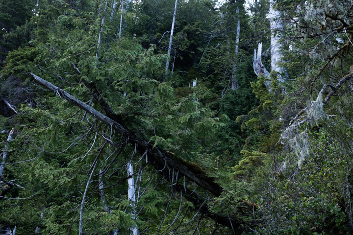 Trees at the edge of an island, Gwaii Haanas