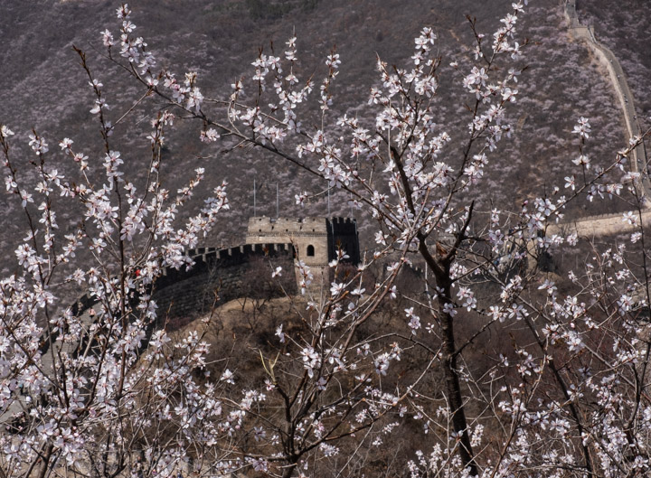 Great wall with flowering tree