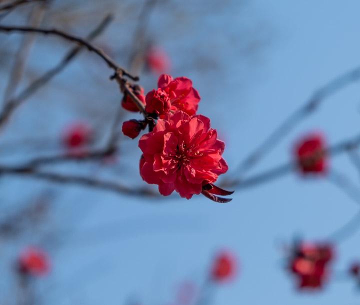 Blossom in Jiaomen, Beijing