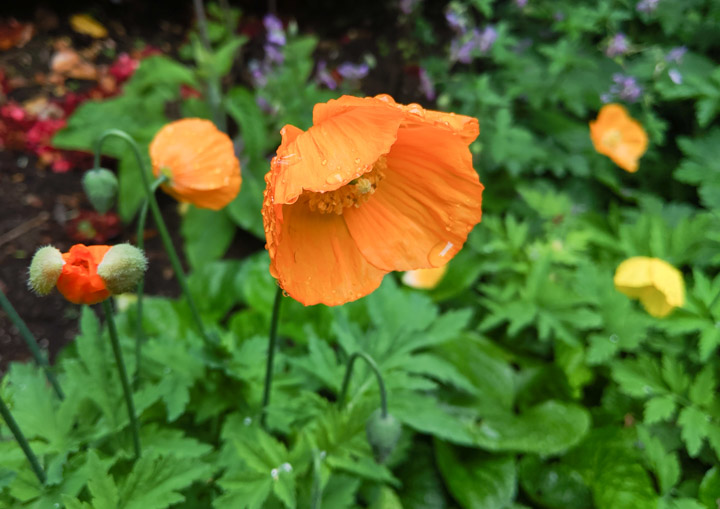 Wet poppy flowers