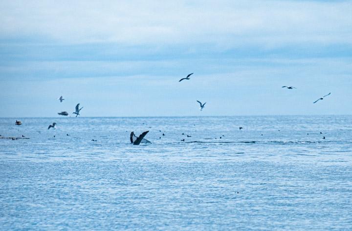 Humpbacks in Haida Gwaii
