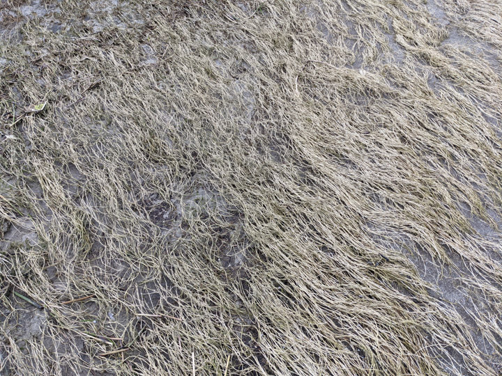 Dry sea-grass in Iona Park, Vancouver