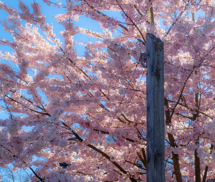 Flowering fruit tree in Vancovuer's Riley Park neighborhood