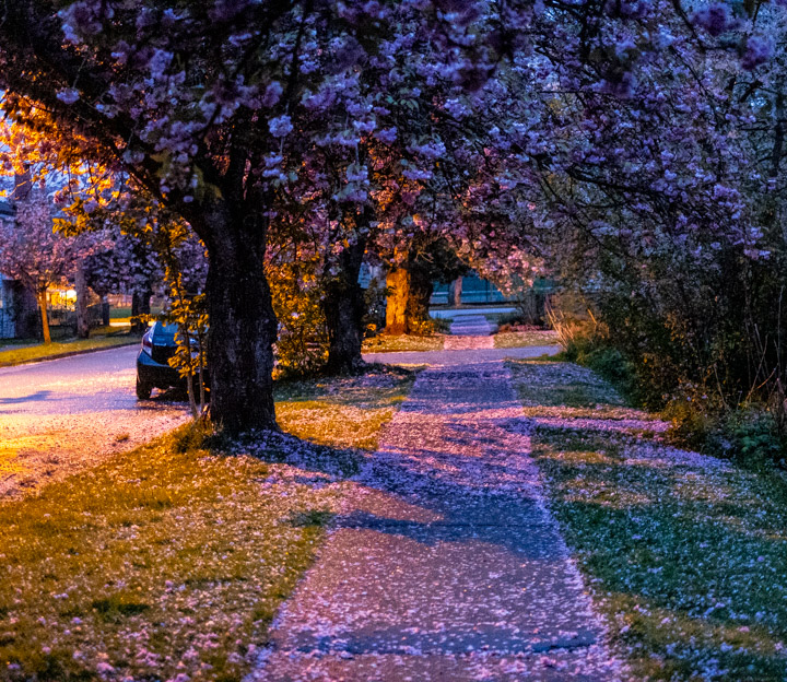 Streetlights and cherry blossoms in East Vancouver twilight